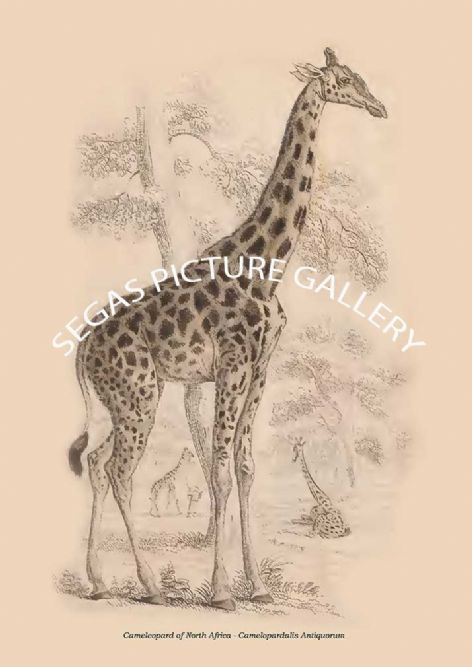 Fine art print of the Cameleopard of North Africa - Camelopardalis Antiquorum by Sir William Jardine(1835)